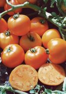 Carolina Gold VFF (Hybrid Novelty Tomato)
