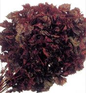Perilla Red (Japanese Herb)