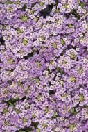 Wonderland Blue (Alyssum)