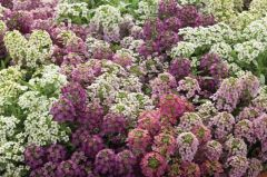 Wonderland Mix (Alyssum)