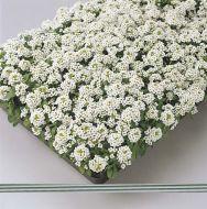Easter Bonnet White (Alyssum)