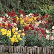 Madame Butterfly Mix (Snapdragon/tall)