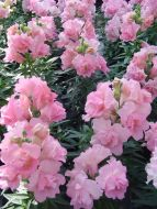 Twinny Rose (Snapdragon)