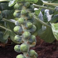 Luminus  (Brussels Sprouts)