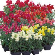 Floral Showers Mix (Snapdragon/dwarf)