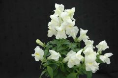 Floral Showers White (Snapdragon/dwarf)