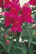 Floral Showers Lilac (Snapdragon/dwarf)