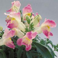 Floral Showers Lavender Bicolor (Snapdragon/dwarf)