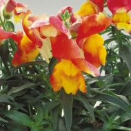 Floral Showers Apricot Bicolor (Snapdragon/dwarf)