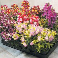 Floral Showers Bicolor Mix (Snapdragon/dwarf)