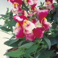 Floral Showers Wine Bicolor (Snapdragon/dwarf)