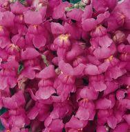 Solstice Lavender (Snapdragon/semi-dwarf)