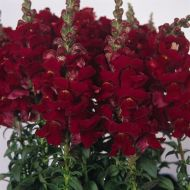 Solstice Red (Snapdragon/semi-dwarf)