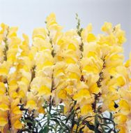 Solstice Yellow (Snapdragon/semi-dwarf)
