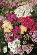 Summer Pastels Mix (Achillea)