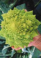Orbit (Cauliflower/lime green)