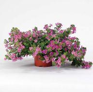 Pinktopia (Bacopa)