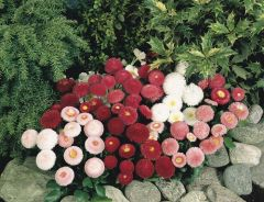 Tasso™ Mix (Bellis Perennis)