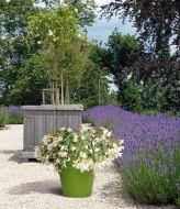 Funky White (Hybrid Begonia Pellets)