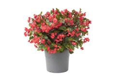 Viking XL Red on Green (Begonia Pellets)