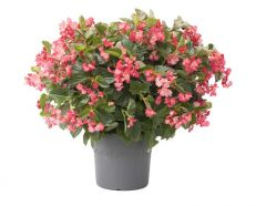 Viking XL Pink on Green (Begonia Pellets)