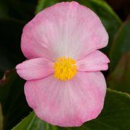 Tophat Pink (Hybrid Begonia Pellets)