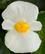 Tophat White (Hybrid Begonia Pellets)