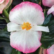 Tophat Rose Bicolor (Hybrid Begonia Pellets)