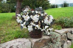 Nonstop Joy Mocca White (Begonia pellets/tuberous)
