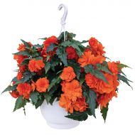 Nonstop Joy Orange (Begonia pellets/tuberous)