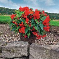 Nonstop Joy Red (Begonia pellets/tuberous)