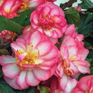 Nonstop Joy Rose Picotee (Begonia pellets/tuberous)