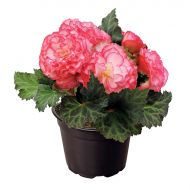 Nonstop Rose Picotee (Begonia pellets/tuberous)