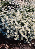 White (Brachycome)