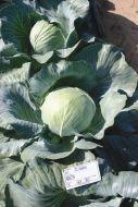 Novator (Cabbage/storage)