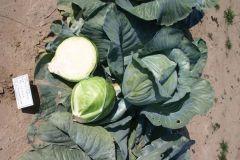 Bloktor (Cabbage/storage)