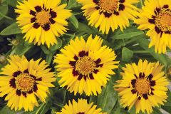 Sunfire (Coreopsis)
