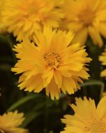 Double the Sun (Coreopsis)