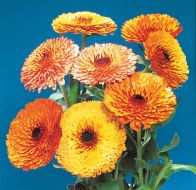 Touch of Red Mix (Calendula)
