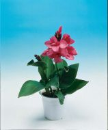 Tropical Rose (Canna)