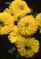 Bon Bon Bright Yellow (Calendula)