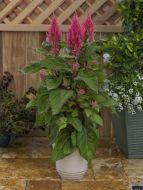 Century Pink (Celosia/plumosa/tall)