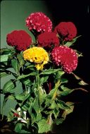 Chief Mix (Celosia/cristata)