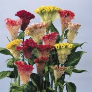Triangle Mix (Celosia/cristata)