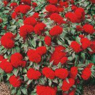 Prestige Scarlet (Celosia/cristata)