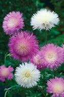 Sweet Sultan Mix (Centaurea)
