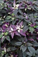 Purple Flash (Capsicum)
