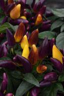 Salsa Purple/Yellow (Capsicum)