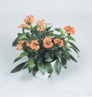 Tropic Flame Orange (Crossandra)