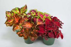 Striped Rainbow (Coleus)